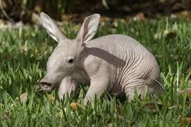 aardvark3